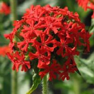 Maltese Cross (Lychnis sp.)